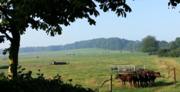 "Dutch Wagyu farm ""Hoeve Galouppe"""